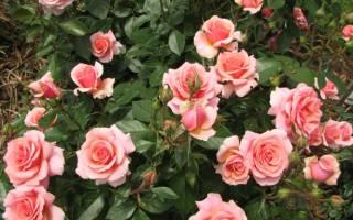 Роза флорибунда сорта поэзия