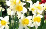 Как ухаживать за нарциссами после цветения