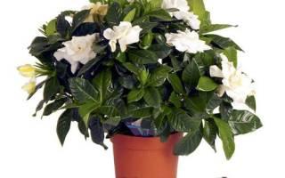 Комнатный цветок с белыми цветами на стрелке