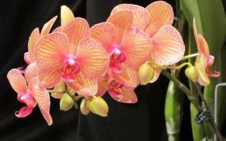 Орхидея описание уход размножение болезни