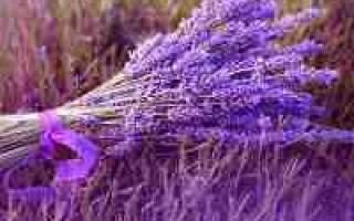 Лаванда описание цветка