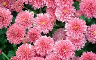 Как заставить хризантему цвести летом