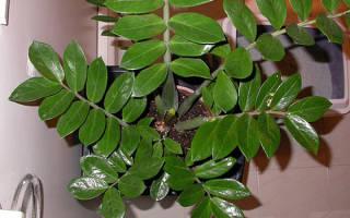 Как ухаживать за долларовым деревом в домашних