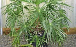 Комнатное растение похожее на пальму название