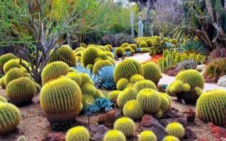 Все о кактусах и про кактусы