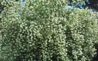 Как пересадить садовый жасмин
