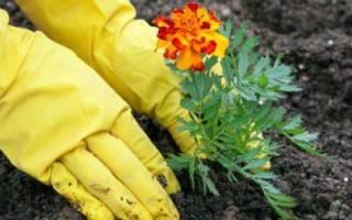 Можно ли посадить бархатцы под зиму