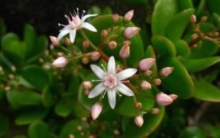 Цветет ли толстянка денежное дерево