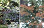 Грибковые болезни хвойных проявляются весной
