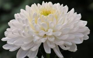 Какие хризантемы самые неприхотливые
