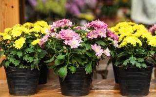 Комнатная хризантема особенности выращивания