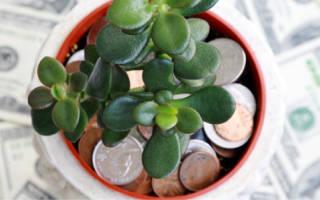 Уход за денежным деревом осенью