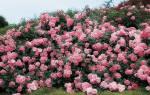 Как ухаживать за парковой розой