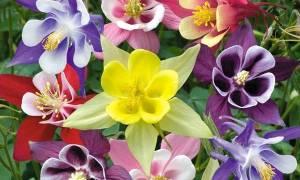 Аквилегия цветет на протяжении всего лета