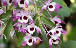 Орхидея дендробиум нобиле уход в домашних