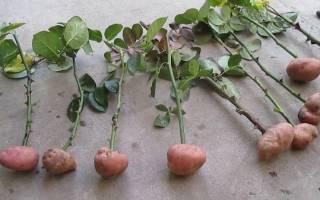 Как черенковать розы в картошке в домашних условиях