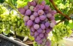 Уход за неукрывным виноградом осенью