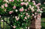 Роза плетистая посадка и уход в открытом грунте на урале