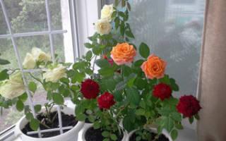 Как размножить комнатную розу черенками в домашних условиях