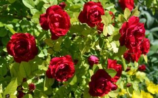Роза плетистая фламентанц описание