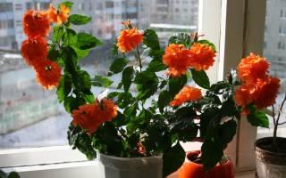 Цветок кассандра как за ним ухаживать