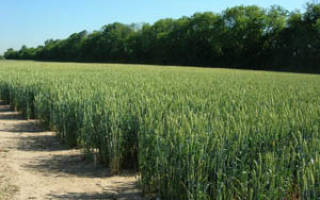 Уход за озимой пшеницей осенью