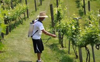 Обработка виноградника хвойным настоем