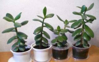 Денежное дерево как посадить отросток