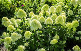 Метельчатая гортензия уход и размножение осенью