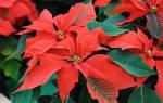 Рождественская звезда – описание и происхождение
