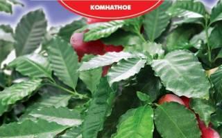 Кофе арабика комнатное растение пересадка после покупки