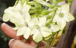 Душистый табак почему не цветет