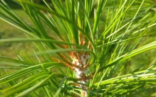 Сосновый хермес (лат pineus strobi)