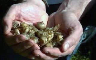 Деление и пересадка луковиц крокусов