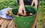 Выращивание гладиолусов в кашпо
