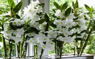 Уход за орхидеей нобиле дендробиум