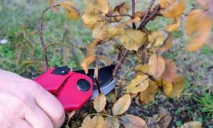 Уход за розами осенью в ленинградской области