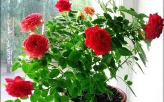 Чем лучше полечить розу