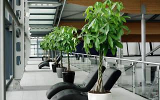 Комнатное растение с переплетенным стволом