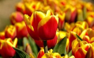 Когда можно сажать тюльпаны осенью