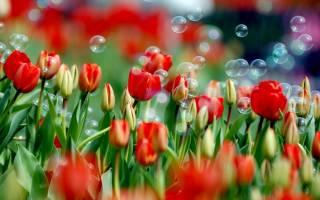 Высадка луковиц тюльпанов в почву