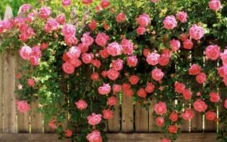 Роза (лат rosa)