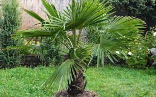 Трахикарпус пальма в домашних условиях уход