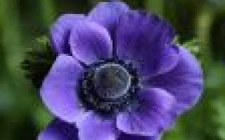 Цветок анемоны посадка и уход