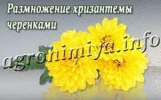 Укоренившиеся черенки хризантемы подготовленные к пересаживанию