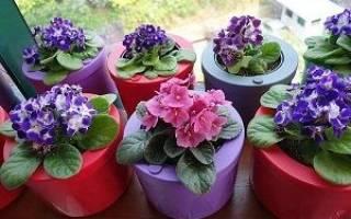 Уход и выращивание фиалки