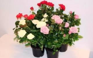 Роза кустовая домашняя в горшке уход осенью