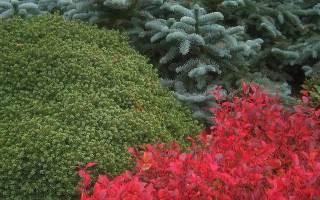 Композиции кругового обзора из хвойных растений