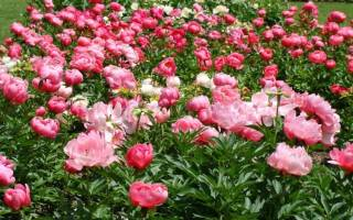 Уход за пионами во время цветения