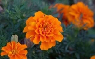 Цветы бархатцы происхождение общие признаки описание